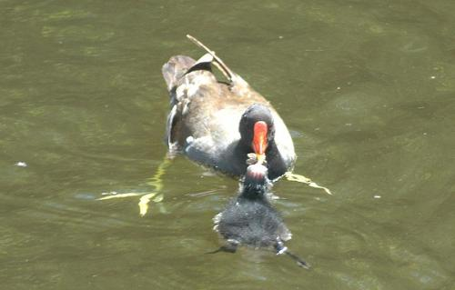 Moorhen feeding chick on Leeds Liverpool Canal copyright Ian Birch